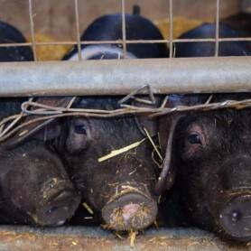 DMTs høringssvar til udkast til bekendtgørelse om tilskud til modernisering af slagtesvinestalde